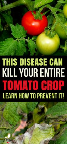 Vegetable Gardening Ideas- growing tomatoes isn't hard but late blight can kill your entire crop in a matter of days. Learn how to prevent this disease in your vegetable garden.