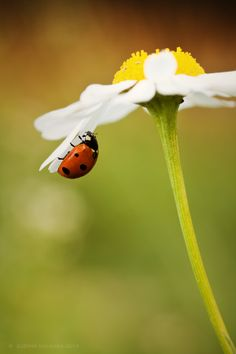 Ladybug by Zuzana Viglasska on 500px