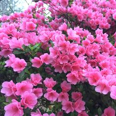 Azaleas need food, too. Fertilize for beautiful blooms and watch the return on investment.