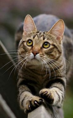 Best of Tabby Cats pictures. Cute Cats And Kittens, Cool Cats, Kittens Cutest, Pretty Cats, Beautiful Cats, Animals Beautiful, Animals And Pets, Cute Animals, Chat Maine Coon