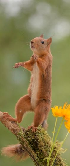 Squirrel standing with Yellow Globeflowers