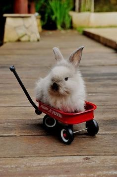 bunny in a pull-along wagon, ahhh, leigh-la. i can see you pulling your bunny in a little red wagon.you loved your bunny so. Funny Bunnies, Baby Bunnies, Cute Bunny, Tiny Bunny, Bunny Rabbits, Adorable Bunnies, Easter Bunny, Amor Animal, Mundo Animal