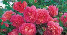 Porträt einer Englischen Rose - klicken und mehr erfahren