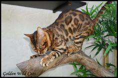 Mâle bengal brown Bengal, Animals, Cat Breeds, Flare, Animales, Animaux, Animal Memes, Animal, Animais