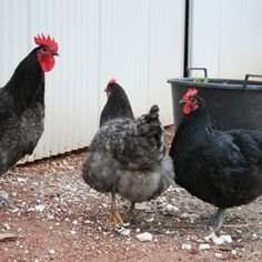 Cool Coops: Solar Powered and Full of Gadgets! | Community Chickens