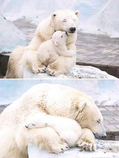 These Mother Bears and Their Cubs Make Beautiful Families Nature Animals, Animals And Pets, Zoo Animals, Cute Baby Animals, Funny Animals, Baby Polar Bears, Teddy Bears, Cute Polar Bear, Mother Bears