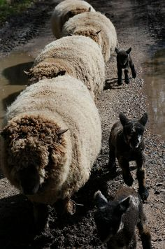 Sheep Ewe's & Lambs