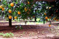 Mediterranean oranges are in season