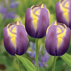 Rare Flowers, Tulips Flowers, Exotic Flowers, Amazing Flowers, Daffodils, Colorful Flowers, Spring Flowers, Beautiful Flowers, Cactus Flower