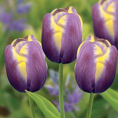 Buy triumph tulip bulbs Tulipa 'Arabian Beauty': Delivery by Crocus