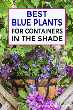 This list of blue container plants for the shade is the BEST! I have so much shade in my yard that I never knew what to put in my containers. Now I know what to plant! This list of blue container plants for the shade is the BEST! I have so much shade in Blue Plants, Tall Plants, Flowering Plants, Potted Plants, Porch Plants, Plant Pots, Gardening For Beginners, Gardening Tips, Indoor Gardening Supplies