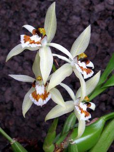 Coelogyne assamica #orchid #orchids #beautiful #flower #Coelogyne
