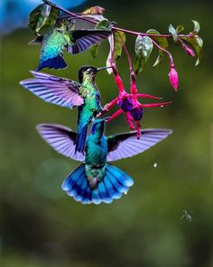 Hummingbirds and fuchsia The Effective Pictures We Offer You About Birdwatching gifts A quality picture can tell you many things. You can find the most beautiful pictures that can be presented . eagle owls of paradise birds Pretty Birds, Beautiful Birds, Animals Beautiful, Cute Animals, Beautiful Pictures, Tropical Birds, Exotic Birds, Colorful Birds, Bird Watching Gifts