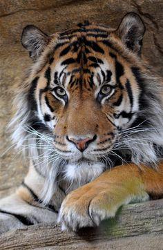 Wild Animals Photos, Animals And Pets, Cute Animals, Beautiful Cats, Animals Beautiful, Beautiful Creatures, Rare Albino Animals, Tiger Love, Cat Species