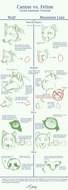 Canine (Wolf) v Feline (Mountain Lion) Face Anat Tut. by ~Daesiy on deviantART canine vs feline dog vs cat tutorial reference Drawing Lessons, Drawing Techniques, Drawing Tips, Drawing Sketches, Sketching, Face Sketch, Drawing Ideas, Anatomy Reference, Drawing Reference