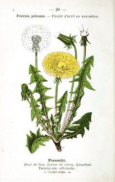 vintage nasturtium botanical - Google Search