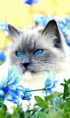Beautiful Saimese Cat! #SiameseCat