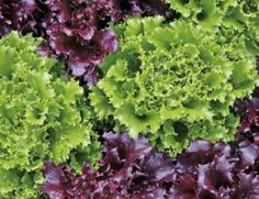 Growing Loose Leaf Lettuce - Grow Tasty Homemade Salads With Ease! Evergreen Shrubs, Deciduous Trees, Asparagus Plant, Tomato Plants, Hosta Care, Geranium Care, Ferns Garden, Types Of Vegetables, Veggies