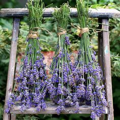 DIY Cracked Heels Remedies ~ How to harvest and dry lavender for use in crafts. Tutorials and recipes for lavender wreath, eye pillows, bath salts, foot soak, and more! Growing Lavender, Lavender Plants, Lavander, Lavender Ideas, Lavender Flowers, Lavender Decor, Lavender Recipes, Lavender Wreath, Malva
