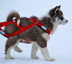Arcticice Qimmiq, Canadian Eskimo Dogs, Alaskan Malamutes, Wolfwalker Siberian Huskies. Alberta, Canada, CKC Champions, puppies and photos. Canadian Eskimo, Very Cute Puppies, Greenland Dog, Spitz Dogs, Dangerous Dogs, Snow Dogs, Alaskan Malamute, Working Dogs, Dog Pictures