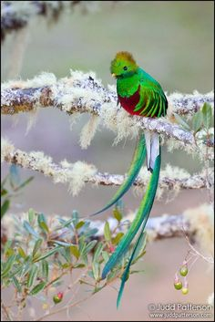 """Resplendence by Judd Patterson on 500px.  From the photographer:  """"This was one of those magic moments where I was standing on a hillside nearly eye-level with a tree full of Resplendent Quetzals. They are just absolutely gorgeous birds...and they were feasting on a small-fruited avocado tree up in the cloud forests of Costa Rica around 8,000 ft."""""""