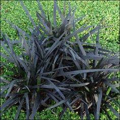 Mustakäärmeenparta 'Niger'<br>Ophiopogon planiscapus 'Niger' Plants, Plant, Planets