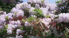 VanDusen Botanical Garden: The Rhododendron Walk Cottage Gardens, Botanical Gardens, 21st Century, Plants, Beautiful, Plant, Planting, Planets, 3rd Millennium