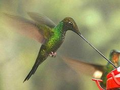 The sword-billed hummingbird (Enisfera enisfera) is very aptly named, as its bill can grow up to 4 inches long, which is longer than its body. Because of this, the bird cannot preen with its bill and instead will groom its feathers with its feet. To ease neck strain while perched, sword-billed hummingbirds often hold their bills straight up. These unique birds can be found in Bolivia, Peru, Ecuador, Colombia and Venezuela.    Photo © Michael Woodruff