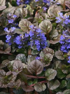 Carpet Bugle  Ajuga   short ground cover with color, very hardy    zone 3-9  @