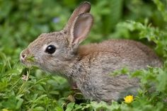 organic homemade rabbit repellent tips- I need to do this NOW for the sake of the garden!