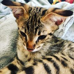 this beautiful F2 savannah kitten has floppy ears. he is amazing! Savannah Cat Breeders, Savannah Kittens For Sale, Savannah Chat, Serval Kittens For Sale, Kitten For Sale, Ears, Las Vegas, Amazing, Animals