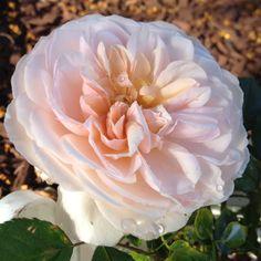 Planted This: Gruss An Aachen rose