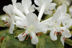 White Vireya Rhododendron - by Eric Hunt.