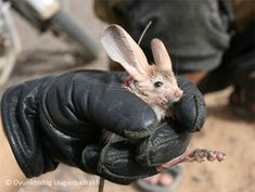 Long-eared Jerboa  This is a rodent from the Gobi desert. Their habitats are being destroyed and they're endangered.