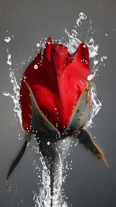 evil Red angel rose
