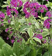 Primula beesiana (Candelabra primula) Get care advice to your inbox every month - add this plant to your personal list.