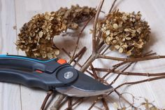 Обрезка гортензии метельчатой