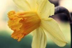 Spring Narcissus Yellow Flower Bokeh HD Wallpaper