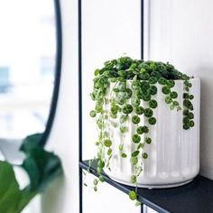 Houseplants That Filter the Air We Breathe How Adorable Is This Little Guy Gotta Love The Peperomia Prostrata : Nordic. House Plants Decor, Plant Decor, Garden Plants, Indoor Plants, Inside Plants, Cool Plants, Mini Plantas, Urban Garden Design, Plant Aesthetic