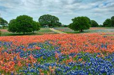 Bluebonnets and Indian Paintbrush around Austin (John R. Rogers)