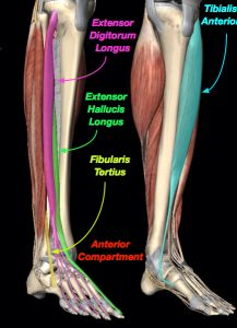 """Cool Muscle Stuff: Tibialis Posterior 1. Inverts ..."