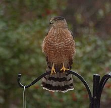 The Cooper Hawk.  We had a family a few years ago that nested in our neighbor's pine trees.  The babies took over our backyard for a few days.