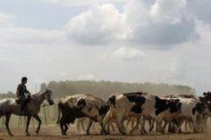 Αέριο αγελάδας το καύσιμο του μέλλοντος – Πρωτοποριακή τεχνική