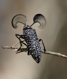 Feather Horned Beetle with Long Bushy 'Eyebrows'(Rhipicera femorata) by thefeaturedcreature: Males use their fantastic (hah!) antennae to locate a female feather-horned beetle that's emitting pheromones which indicate she is ready for mating. Photo by ron Cool Insects, Bugs And Insects, Beautiful Creatures, Animals Beautiful, Bushy Eyebrows, Cool Bugs, Beetle Bug, Beetle Insect, Bug Insect