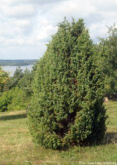 Juniperus communis f. suecica.  Träd-en.