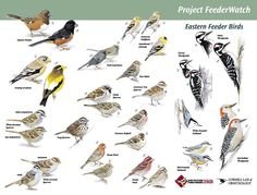 Indiana backyard feeder birds | ... bird feeding websites and here is a poster of common feeder birds in