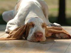 Az okok a szag a füle egy kutya