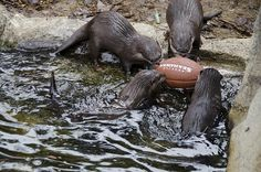 Woodland Park Zoo's Otter Pups Named After the Legion of Boom | Seattle's Child - Go Hawks!! :)
