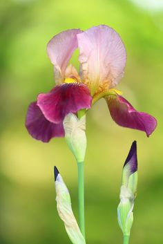~~Iris in my mother's garden by cate♪~~
