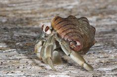 Cangrejo ermitaño 'okupa' las conchas más grandes de sus vecinos - Hermit Crabs Socialize to Evict Their Neighbors